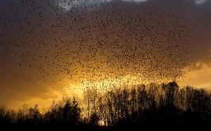 Starling Murmuration at Willington
