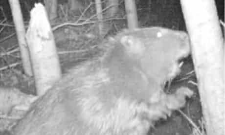 Is it an otter? No, it's a beaver beside the river Otter in Devon.