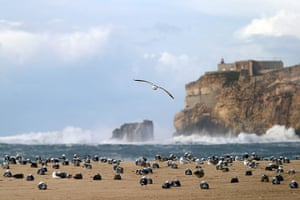 Week in Wildlife: Seagulls stay ashore as strong winds batter Portugal's west coast