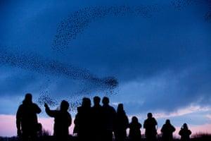 Week in Wildlife: murmation of more than 50 000 starlings