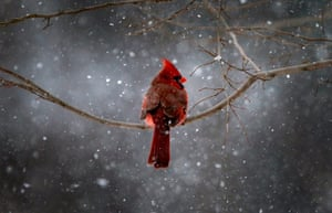Week in Wildlife: A Northern Cardinal sits on a tree branch in falling snow
