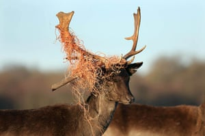 Week in Wildlife: A stag whose antlers are tangled in part of a fence