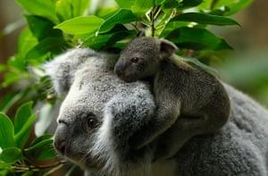 Week in Wildlife: A koala joey hangs on his mother