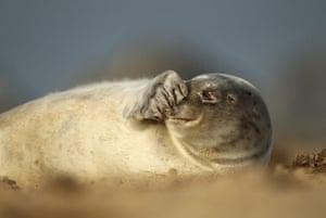 Week in Wildlife: Grey seals on a beach, Norfolk