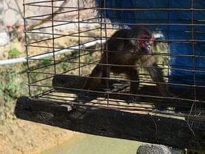 Week in wildlife: captured wild red face monkey