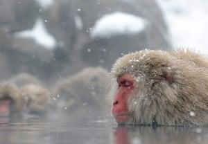 Week in wildlife: Japanese macaque monkeys, known as snow monkeys