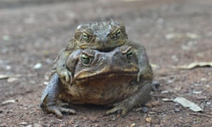 Kununurra in Western Australia's Kimberley region celebrates Australia Day with  a cane toad race to raise funds for the Kimberley Toad Busters, which claims to have humanely culled 2.4 million cane toads. Photo: AAP Image/Kimberley Toad Busters)