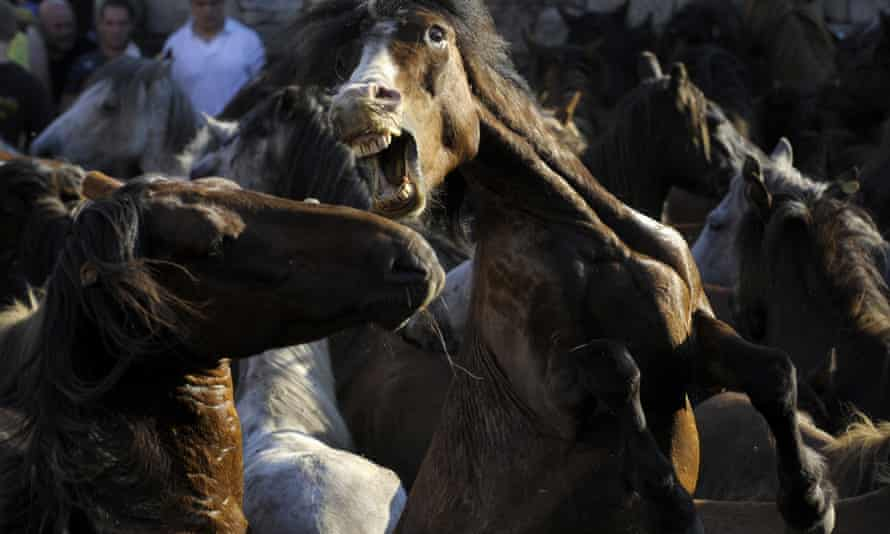 "Wild horses fight during the 400-year-old horse festival called ""Rapa das bestas""."