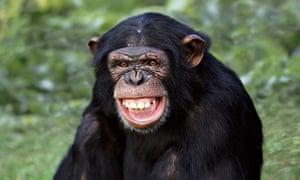 [Image: A-chimpanzee-baring-its-t-009.jpg?width=...4ced5ed10c]