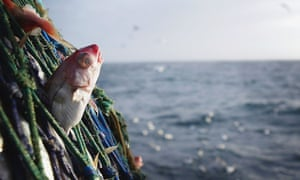 Haddock are among the species that scientists found are declining in size in the North Sea.