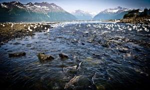 Alaska salmon nature wild