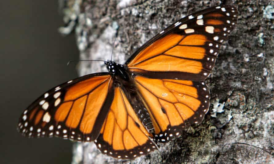 A Monarch butterfly perches on a tree at the Sierra Chincua Sanctuary in the mountains of Mexico's Michoacan state. Populations have plunged, new figures show