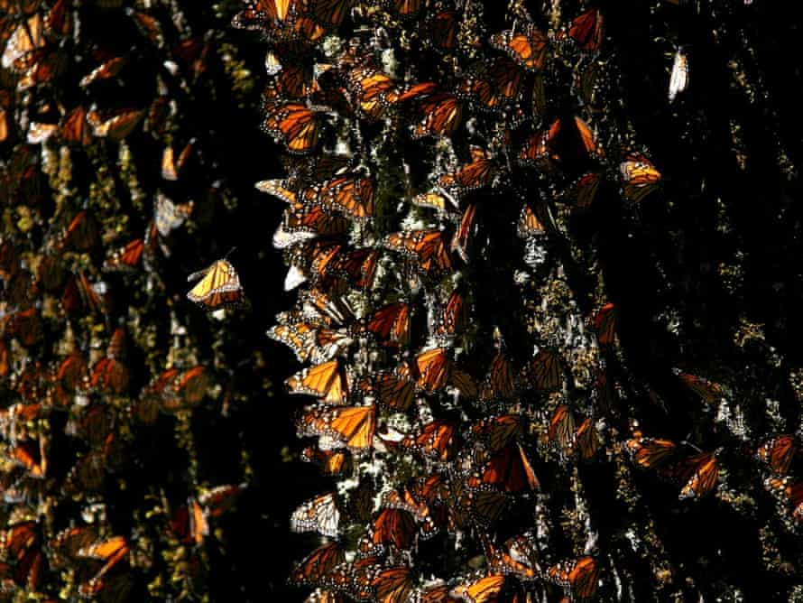 Monarch butterflies gather on a tree at the El Rosario Butterfly Sanctuary near Angangueo, Mexico.