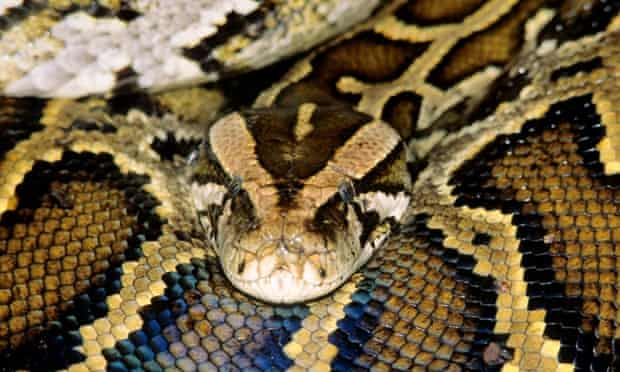 A California man's home was full of pythons packed tightly in plastic bins, police have said.