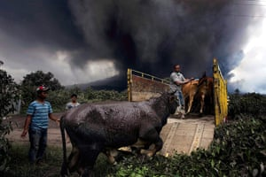 Mount Sinabung: Villagers evacuate their cattle after the National Disaster Management Agen