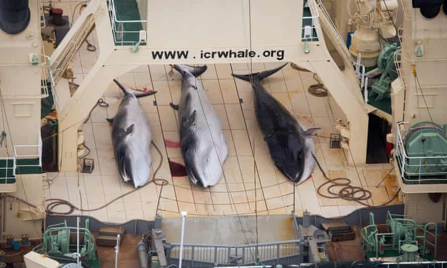 Three minke whales dead on the deck of the Japanese factory ship Nisshin Maru inside a Southern Ocean sanctuary, according to anti-whaling activists Sea Shepherd.