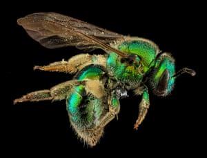 Macro bees: Macro photograph of bee #1