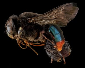 Macro bees: Macro photograph of bee #2