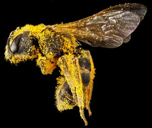 Macro bees: Macro photograph of bee #4