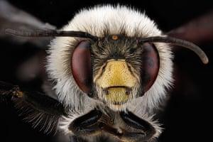 Macro bees: Macro photograph of bee #6
