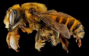 Macro bees: Macro photograph of bee #7