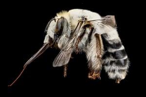 Macro bees: Macro photograph of bee #8