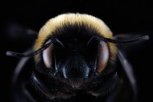 Macro bees: Macro photograph of bee #13