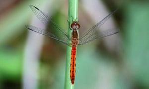 Dragonfly, Diplacodes bipunctatam