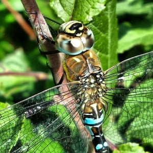 Dragonfly by the river Foss in York during the summer