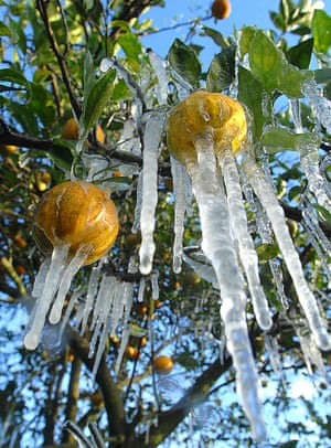 Oranges encased in ice after an overnight frost at Bellamy Grove, Iverness in Florida.