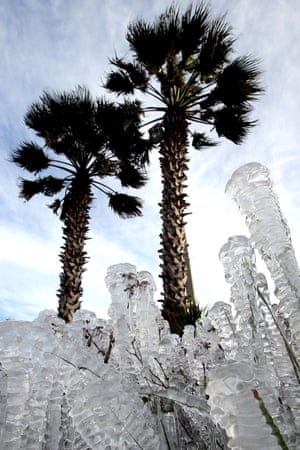 Sprinklers left on overnight coated plants in ice in Pnama City Beack, Florida.