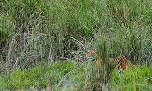 Royal Bengal Tiger of Kaziranga National Park