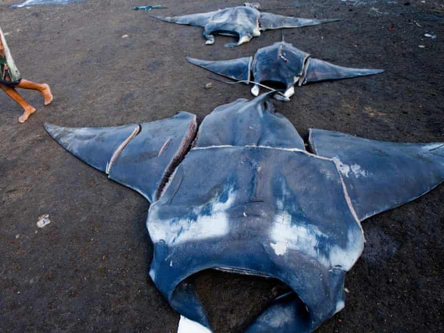 Butchered manta rays in Indonesia