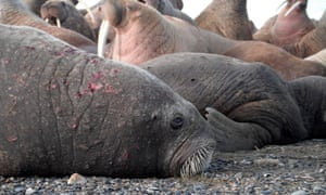 Walrus on Chukchi Sea Shores with Skin Lesions. Large numbers of walruses came ashore to rest near the community of Point Lay, Alaska when sea ice had dissipated from their offshore foraging grounds in the eastern Chukchi Sea during late August through October of 2011.  Walruses in these groups cycled between this coastal resting area and their foraging grounds, both near-shore and offshore.  USGS is tracking these walruses in an effort to understand the consequences of foraging from a coastal resting area relative to traditional behavior of foraging from offshore sea ice.  Depicted in these photos are walruses observed on the edge of these groups that exhibited skin lesions.  The lesions were distributed across the walruses bodies and were in various states of healing.  Point Lay, AK, USADate  8/24/2011