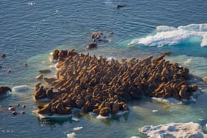Original caption: Walrus (Odobenus rosmarus) herds resting on floating pack ice during spring breakup, in the Chukchi Sea, off the National Petroleum Reserves, Arctic coast of Alaska.