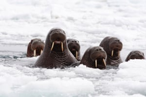 This June 2014 released by the U.S. Fish and Wildlife Service shows Pacific walruses in the Chukchi Sea off the coast of Alaska. Researchers are trying to get a better handle on the size of the Pacific walrus population ahead of an expected decision by the U.S. Fish and Wildlife Service on whether the animals need special protections.