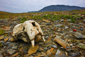 "11 Aug 2009, Wrangel Island, Russia --- The skull of a sub-adult Pacific walrus (Odobenus rosmarus divergens) lying on the rocky tundra near the shore of Wrangel Island, Russia. The Pacific walrus is an Arctic marine mammal that is dependent on the existence of sea ice for resting and breeding. The species is currently classified by the IUCN as ""Data Deficient"" because insufficient data currently exist to support a scientific determination of population status and trends. However, there is significant concern about the effects of climate change on this ice-dependent animal, as well as concern about over-hunting. A petition to list the Pacific walrus as a Threatened species under the U.S. Endangered Species Act is currently pending (2009). -"