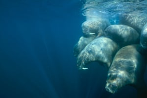 Foxe Basin, Nunavut, Northwest Territories, Canada. Walruses swim in a tight group with the pups protected in the middle.