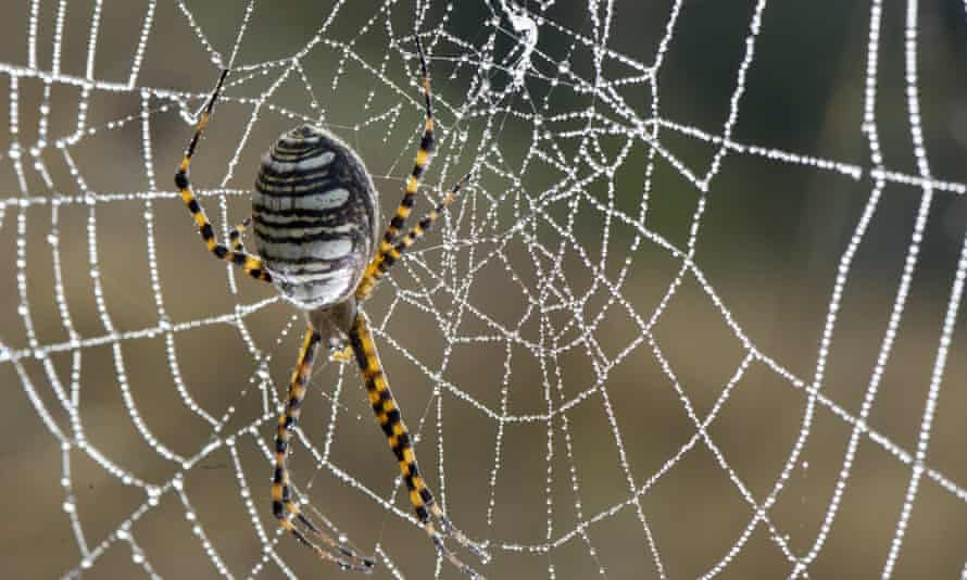 Mandatory Credit: Photo by REX/KeystoneUSA-ZUMA (1484509c)A black and yellow garden spider hangs in its dew-coated web as the morning sun burns through a thick layer of fog on a hillside near Elkton, Oregon, AmericanSpiderSPIDERABLACKYELLOWGARDENHANGSITSDEWCOATEDWEBASMORNINGSUNBURNSTHROUGHTHICKLAYERFOGHILLSIDENEARELKTONOREGONAMERICANWEAVINGINSECTINSECTSSPIDERSARACHNIDARACHNIDSAnimalStockNot-Personality11396790