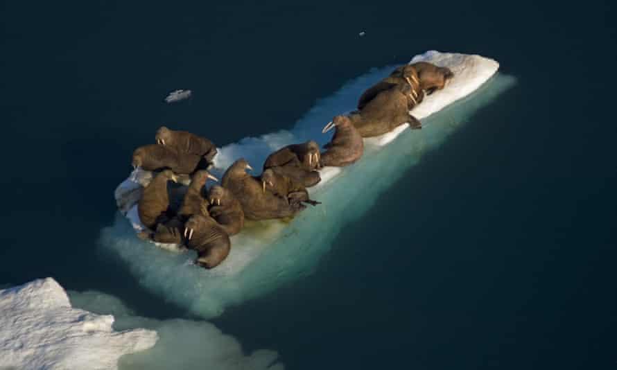walruses walrus