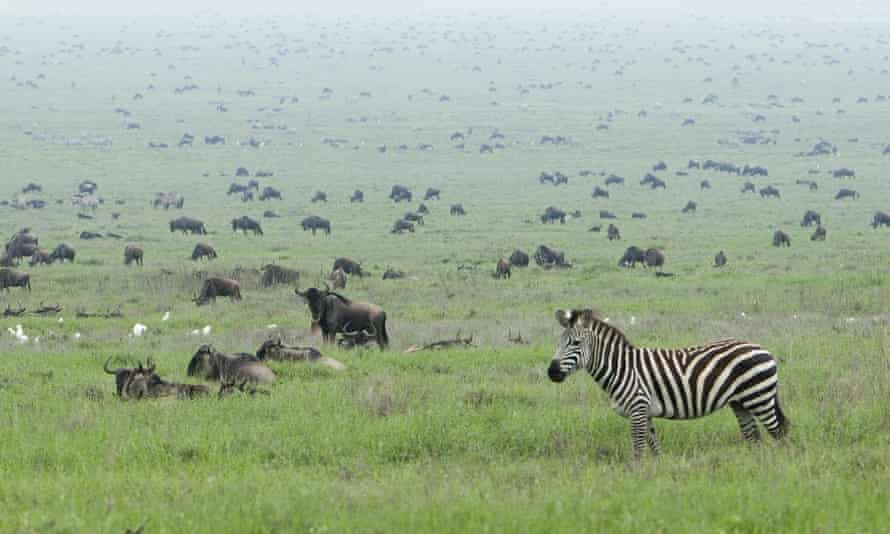 A zebra on the edge of a herd of wildebeest
