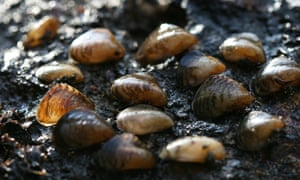 UK Invasive freshwater species : Quagga mussels collected from the Wraysbury River, London