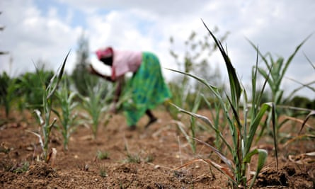 A Kenyan farmer bags dried up maize sprouts