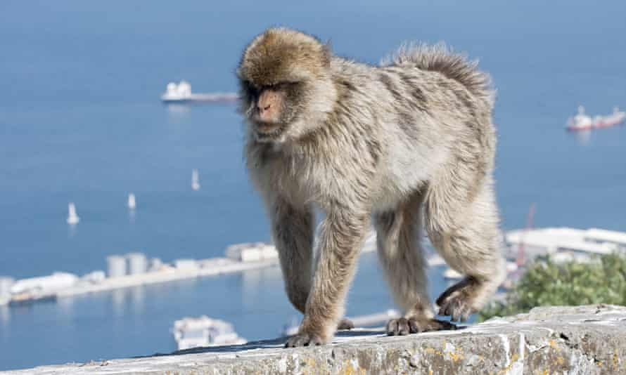 An adult barbary macaque walking along the wall at the viewpoint on the rock of gibraltar