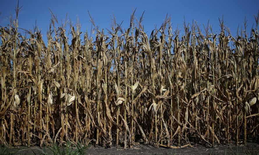 Corn plants struggle to survive in a drought-stricken farm field on August 7, 2012 in Bondurant, Iowa.