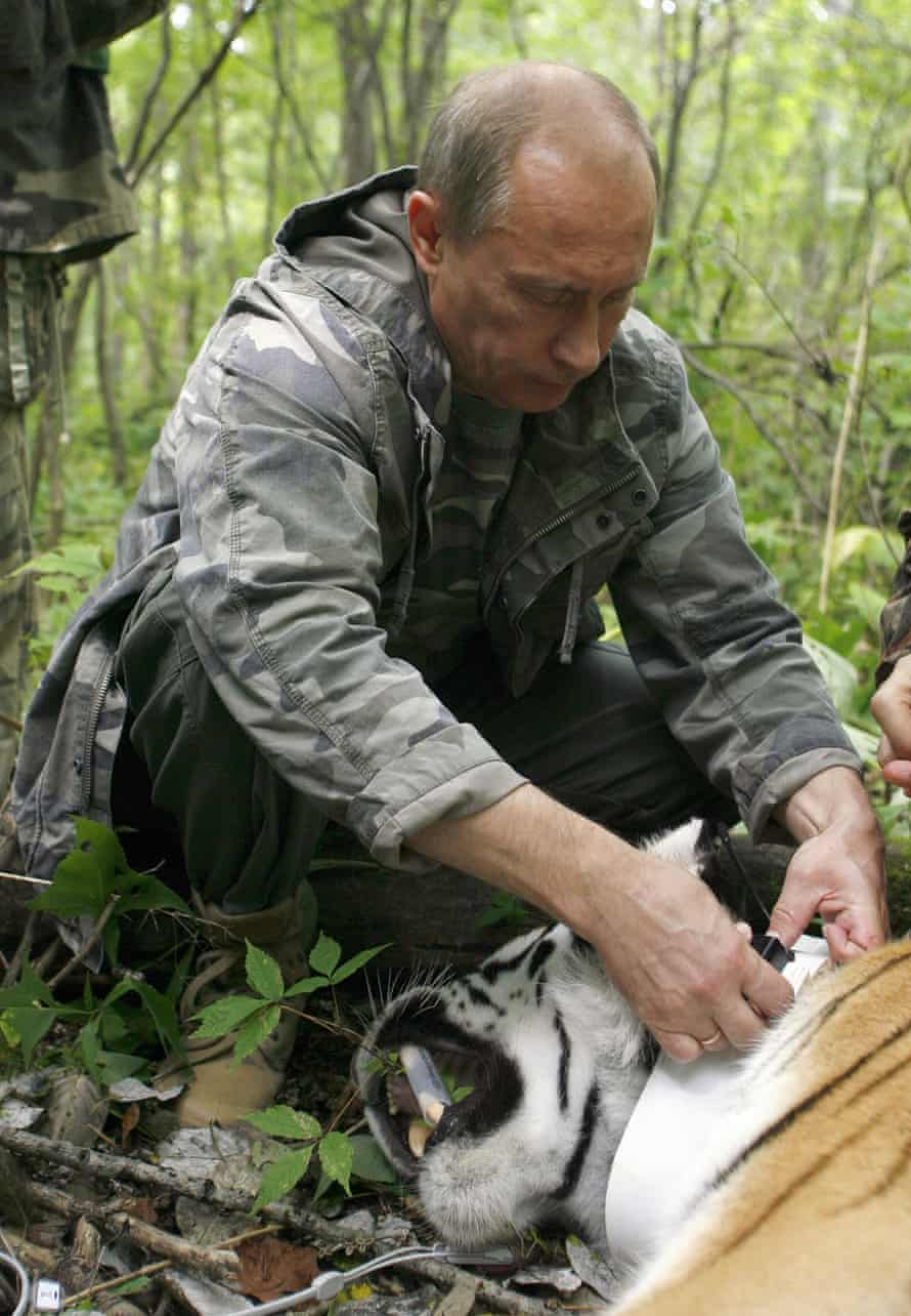 Vladimir Putin fixes a GPS-Argos satellite transmitter onto a tiger on August 31, 2008.