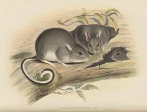 White-footed rabbit rat