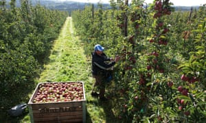 Ideal weather brings bumper English apple harvest