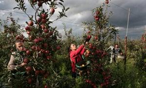 Braeburn apple harvestat Broadwater Farm, near West Malling, Kent, on 10 October 2014.