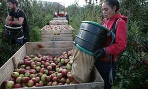 Apple harvest, Kent.Braeburn apples.Broadwater Farm, near West MallingPeter Checkley, Farm Manager10-10-2014.